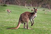 Kangaroos. Deep Creek Conservation Park, Flerieu Peninsula, South Australia.