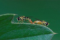 two mating insects in leaf in the wild, syrphidae insects