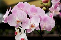 Delicate pink orchid flowers