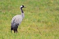 Common Crane, Campania, Italy (Grus grus)