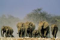 African Elephant (Loxodonta africana) - Rushing towards a waterhole. Etosha National Park, Namibia.