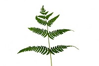 fern green leaf isolated on white background