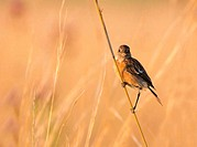 Female stone chat perched against a pleasing background. Image taken in late afternoon light