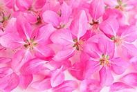 Pink Cherry Flower Background