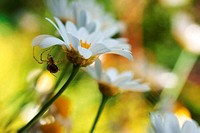 spider and daisy