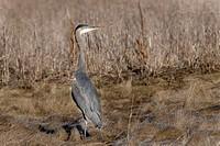 Heron in field.