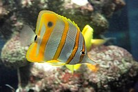 Sixspine butterfly-fish in movement