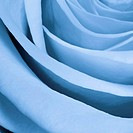 blue rose close up