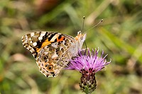 Vanessa cardui, Painted Lady butterfly, Germany