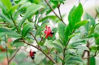 Micky mouse plant