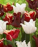 Tulipa mixed