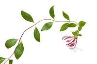 Flowering pink Honeysuckle