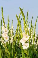 Gladiola flowers