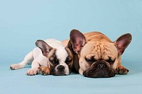 French bulldogs laying on blue background
