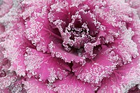 Frosted Cabbage
