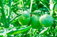 fresh green tomatoes on tree