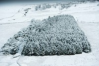Snow covered conifer wood; Wensleydale, North Yorkshire, England