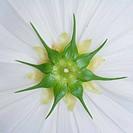 behind cosmos flower background