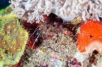 Boxer shrimp (stenopus hispidus) in the Red Sea.