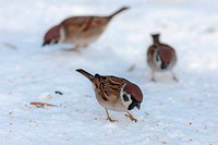 sparrows in winter