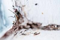 Nasty Housefly in a Window