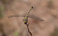 Common Tigertail dragonfly, Ictinogomphus ferox perched on twig; Kruger National Park, South Africa