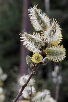 Single branch of pussy willow