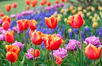Beautiful field of colorful tulips