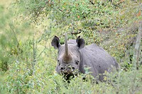 Black Rhinoceros (Diceros bicornis) standing between the bushes looking into the camera.