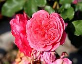 photo lovely Rose