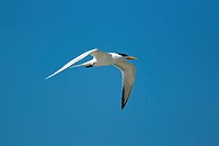A common tern flies up in the bright blue summer sky.