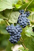 Txakoli vineyards of Getaria