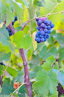 Single bunch of grapes on Vineyard.