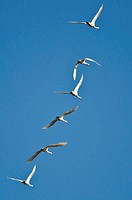 Flock of Tundra Swans Flying in a Blue Sky