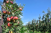 Boughton Monchelsea village, Maidstone, Kent, UK. Commercial apple orchard.