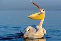 Great white pelican or eastern white pelican or rosy pelican or white pelican (Pelecanus onocrotalus). Lake Naivasha. Naivasha. Great Rift Valley. Ken...
