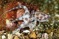 Blue ringed octopus (Hapalochlaena sp) Lembeh Strait, Sulawesi, Indonesia.
