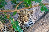 Leopard (Panthera pardus) - Male, Chobe National Park, Botswana.