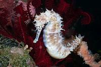 Thorny Seahorse, Hippocampus histrix, Bali, Indonesia.