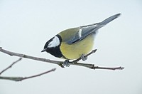 Great Tit (Parus major) sitting on a branch in winter, Bavaria, Germany.