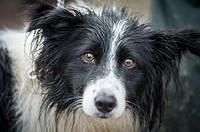 Border collie at the International Sheep Dog Trials in Moffat, Scotland, UK.