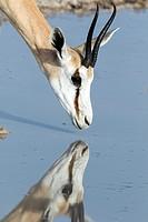 Springbok (Antidorcas marsupialis) Reflection - Etosha National Park, Namibia, Africa.