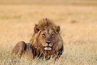 Lion (Panthera leo) - Resting male at dawn. Savuti, Chobe National Park, Botswana.