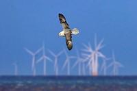 Fulmar Fulmaris glacialis in Flight and offshore windfarm Hunstanton Norfolk.
