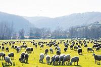 sheep on grass