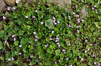 Cymbalaria muralis, Ivy-leaved Toadflax, Wales, UK.