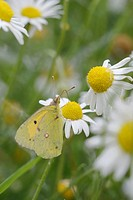 Colias croceus, Clouded Yellow butterfly feeding on Chamomile flowers, Matricaria chamomilla, Wales, UK.