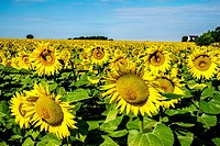 Field of blooming sunflowers in Loire Valley, France, Europe.