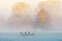 Fallow Deers (Cervus dama) on misty morning, Spring, Hesse, Germany, Europe.