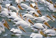 White pelican (Pelecanus erythrorhynchos), Fairford River, Manitoba, Canada.